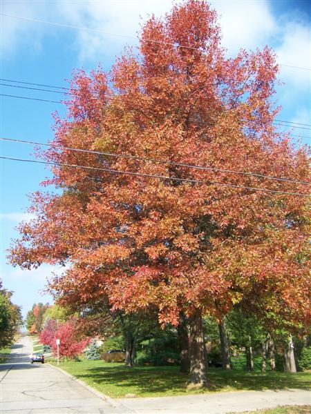 Picture of Quercus palustris  Pin Oak