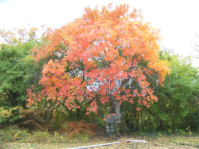 Cotinus obovatus American Smoketree on PlantPlaces.com