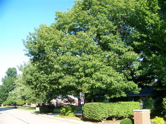 Picture of Quercus rubra  Red Oak