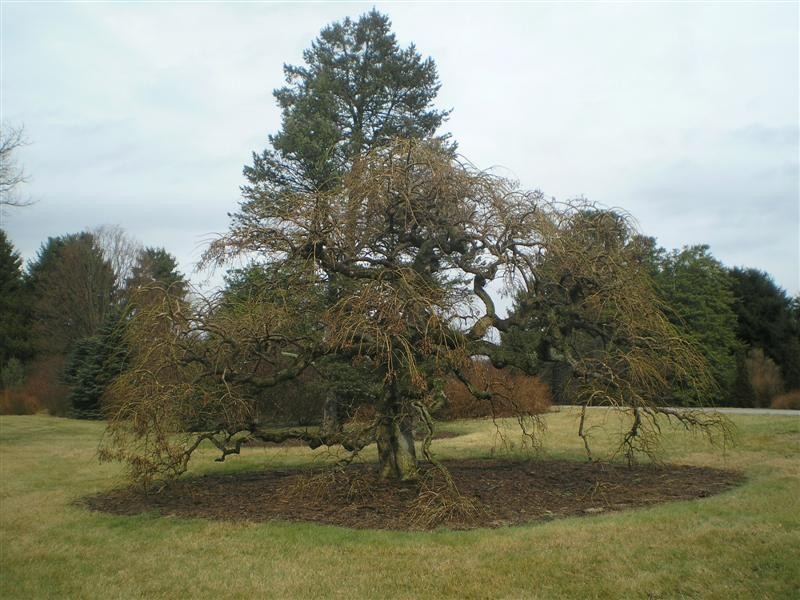 Picture of Sophora japonica 'Pendula' Weeping Japanese Pagoda Tree
