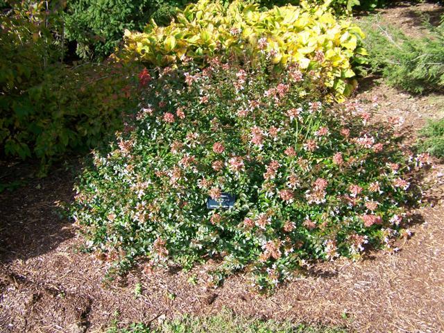 Abelia X Grandiflora Little Richard Little Richard Glossy Abelia