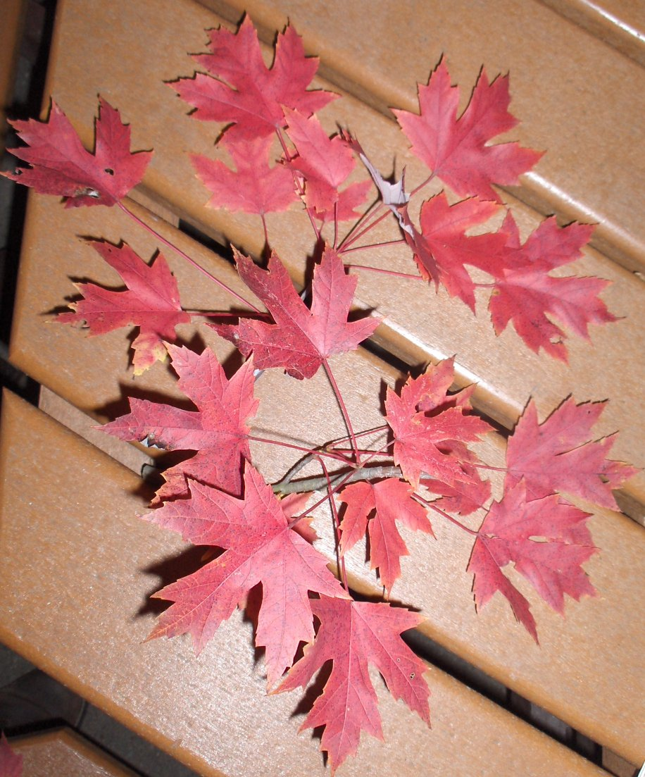 Picture of Acer x freemanii 'Autumn Blaze' Autumn Blaze Maple