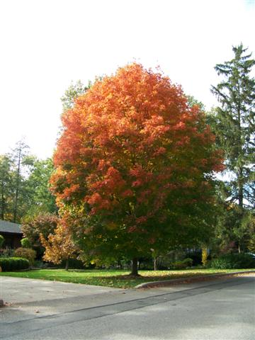Picture of Acer saccharum 'Legacy' Legacy Sugar Maple