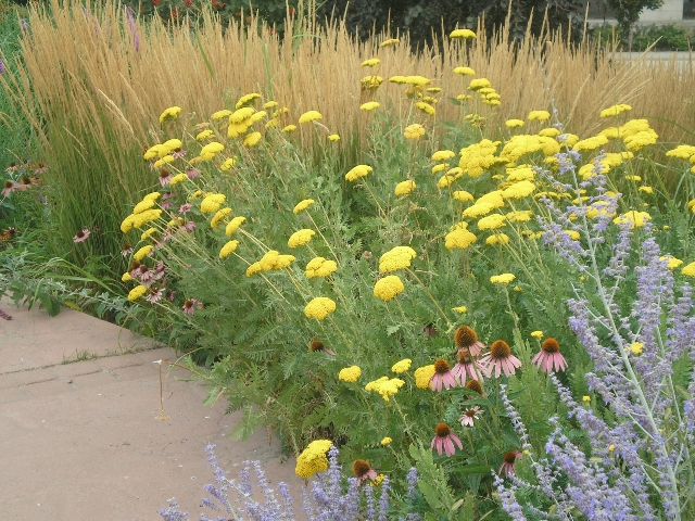 Picture of Achillea  'Moonshine' Moonshine Yarrow