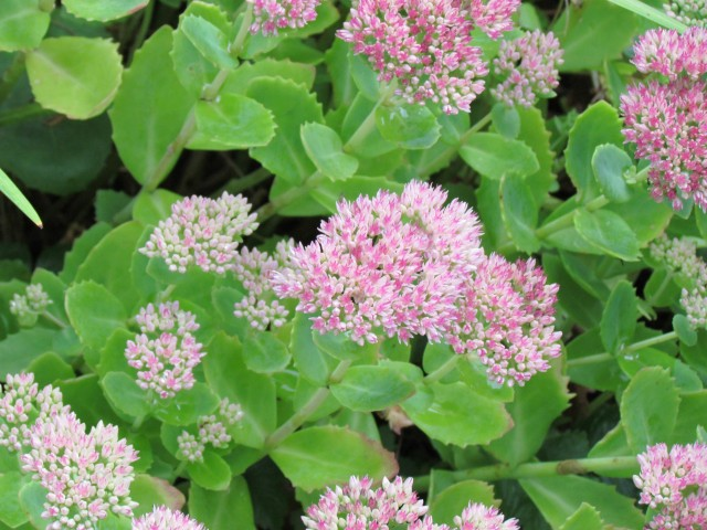 Sedum spp BhxSedumFlower.JPG