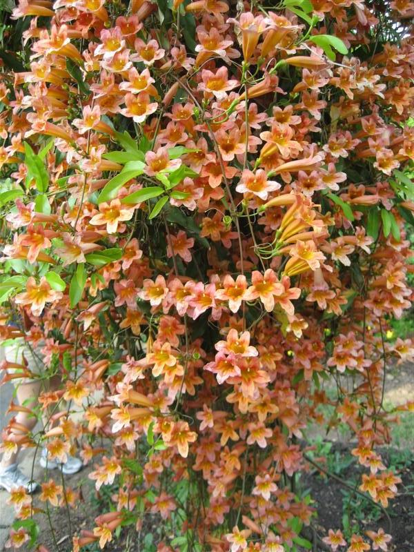 Picture of Bignonia capreolata  Cross Vine