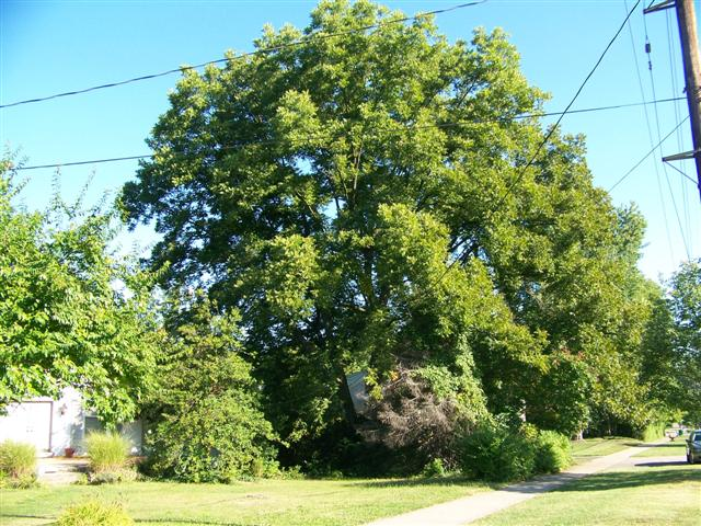 Picture of Carya illinoinensis  Northern Pecan