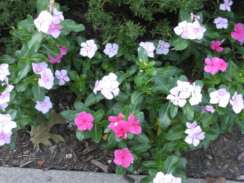 Catharanthus roseus Catharanthus_roseus_flowers_and_leaves.JPG