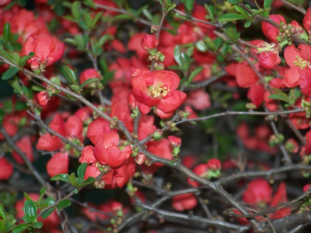 Picture of Chaenomeles speciosa 'Texas Scarlet' Texas Scarlet Flowering Quince