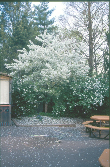 Picture of Malus sp. 'Sugar Tyme' Sugar Tyme Crabapple