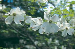 Picture of Cornus florida 'Cherokee Princess' Cherokee Princess Flowering Dogwood