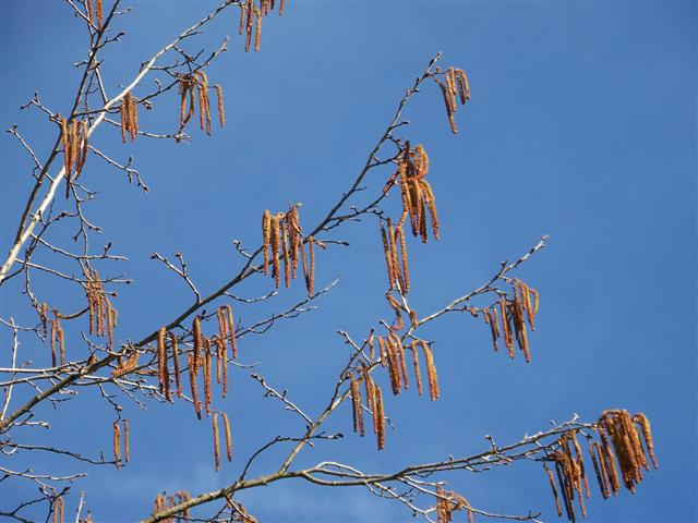 Picture of Corylus colurna  Turkish Filbert