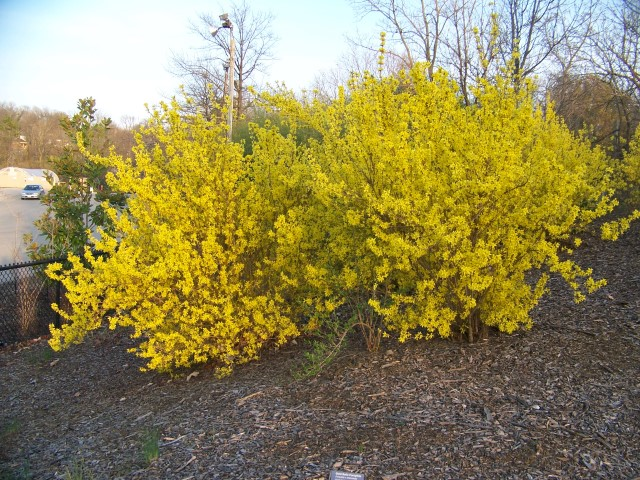 Picture of Forsythia x intermedia 'Golden Bells' Golden Bells Forsythia