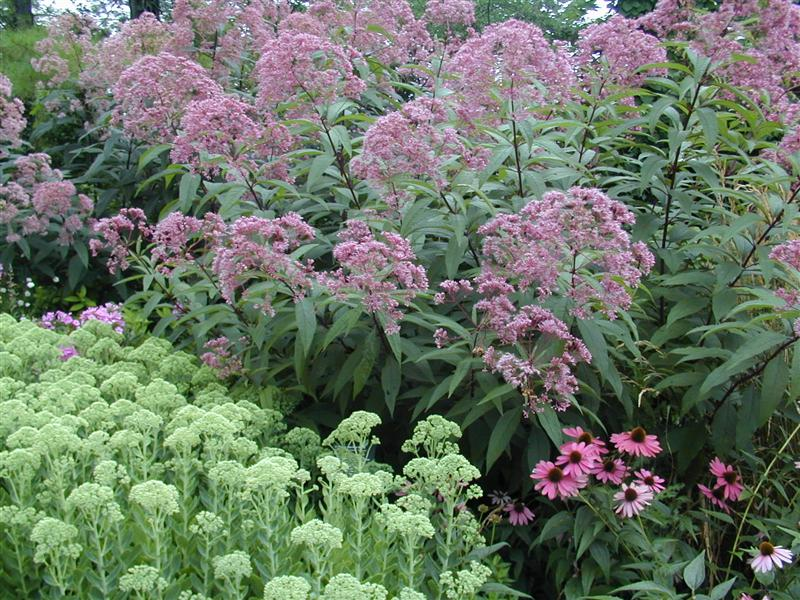 Lehigh valley master gardeners wildflower of for Joe pye weed