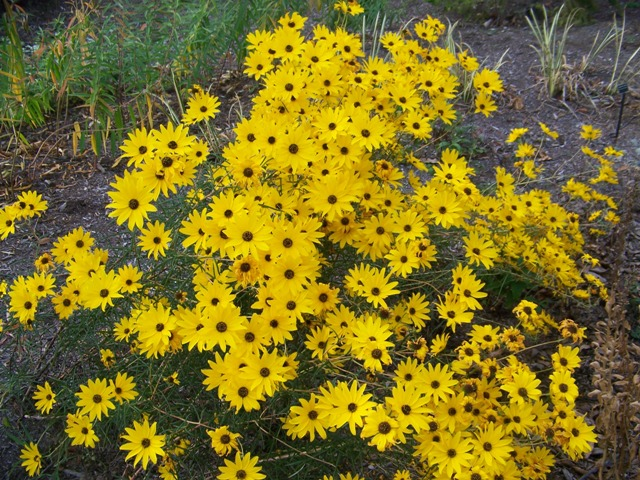 Picture of Helianthus angustifolius 'Gold Lace' Gold Lace Swamp Flower
