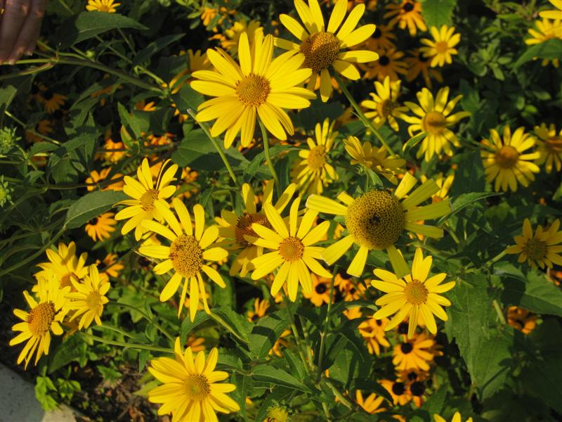 Heliopsis helianthoides Heliopsis_helianthiodes_flowers_ap.JPG