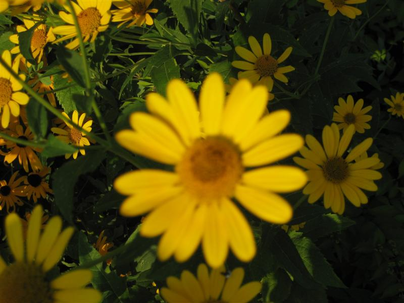 Heliopsis helianthoides Heliopsis_helianthiodes_one_flower_ap.JPG