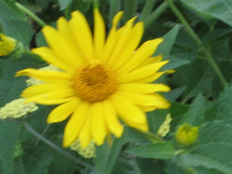 Heliopsis helianthoides Heliopsis_helianthoides_flower_close_st.JPG