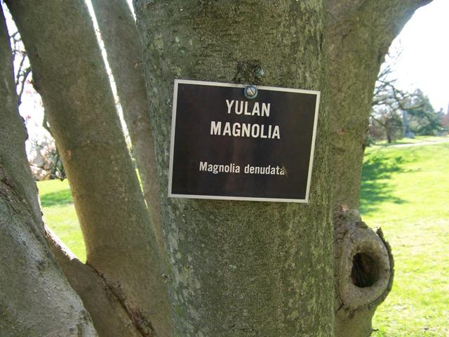 Magnolia Denudata Yulan Magnolia On Plantplacescom
