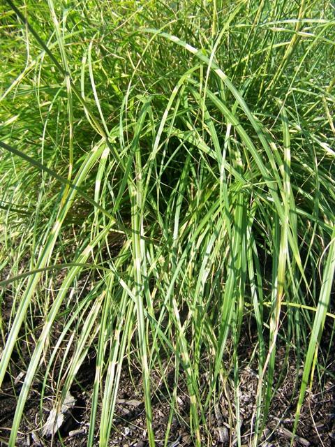 miscanthus sinensis 39 zebrinus 39 little zebra maiden grass. Black Bedroom Furniture Sets. Home Design Ideas