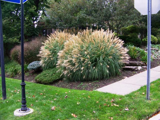 Ornamental Grasses Upstate Ny : Miscanthus sinensis adagio maiden grass on