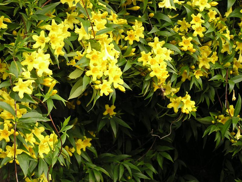 Gelsemium sempervirens carolina yellow jessamine picture detail mightylinksfo