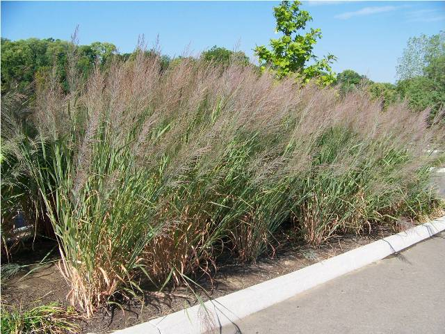 Picture of Panicum virgatum 'Dallas Blues' Dallas Blues Switch Grass