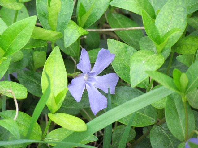 Vinca minor ParisVincaMinor.JPG