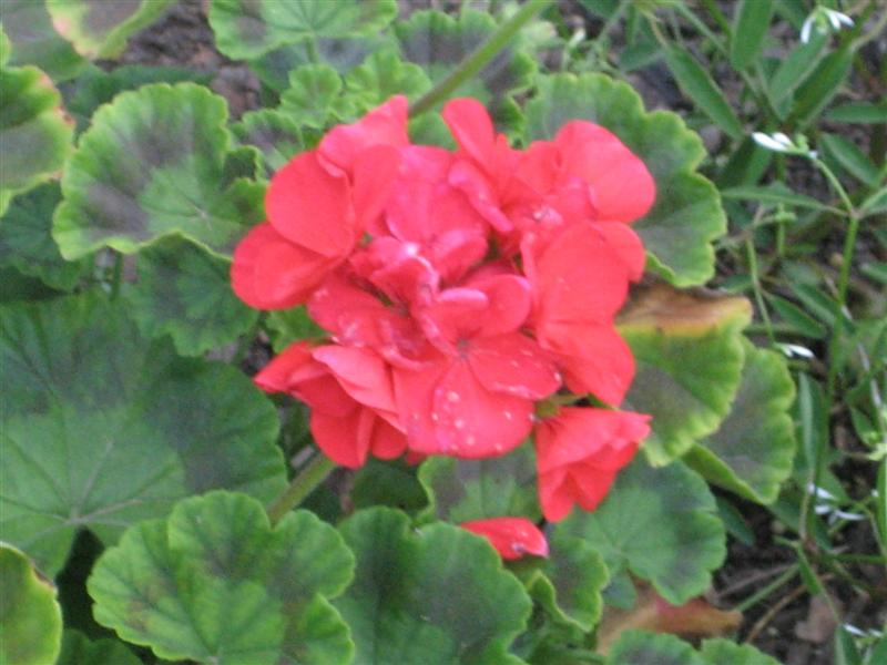Pelargonum x hortorum Pelargonium_hortorum_flower.JPG