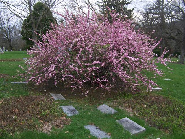 Picture of Prunus glandulosa 'Rosea Plena' Dwarf Flowering Almond