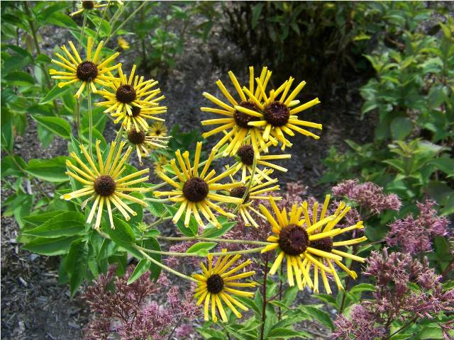 Picture of Rudbeckia submentosa 'Henry Eilers' Sweet Coneflower
