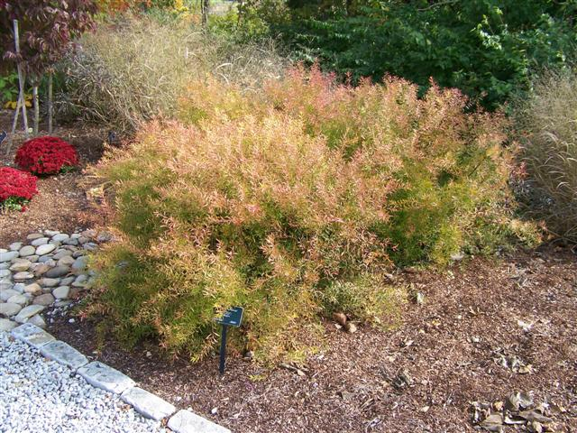 Picture of Spiraea thunbergii 'Ogon' Mellow Yellow® Mellow Yellow Spirea