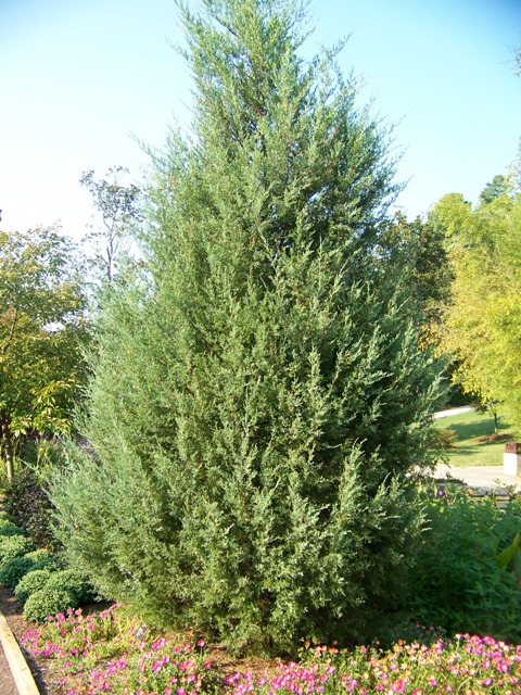 Picture of Juniperus virginiana 'Stover' Stover Eastern Redcedar