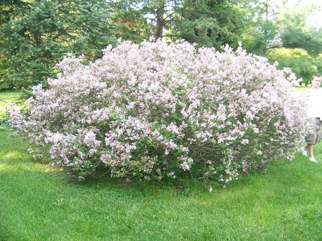 Picture of Syringa meyeri 'Palibin' Dwarf Korean Lilac