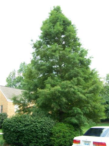 Taxodium distichum Taxodium.distichum(Small).JPG