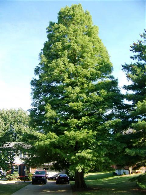 Taxodium distichum Taxodium.distichum.Lakeside.Park.JPG