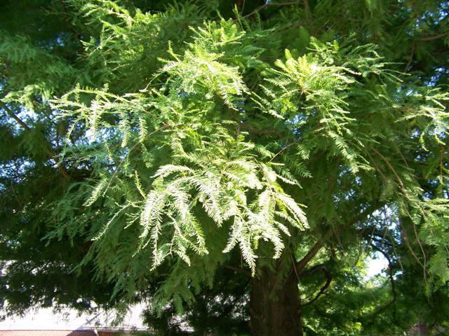 Picture of Taxodium distichum  Bald Cypress