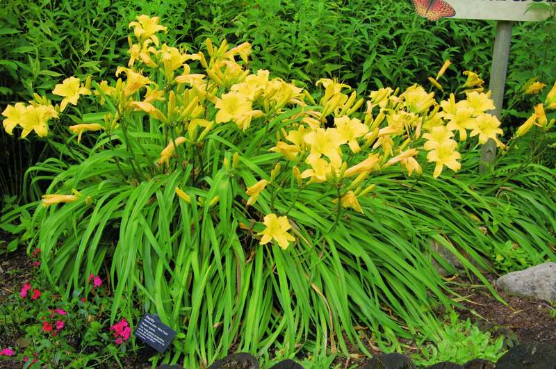 Picture of Hemerocallis  'Mary Todd' Mary Todd Daylily