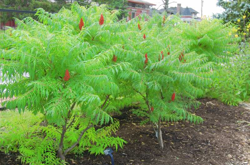 Picture of Rhus typhina  Staghorn Sumac