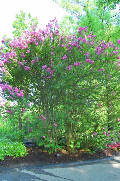 Picture of Lagerstroemia indica x fauriei 'Hopi' Hopi Crape Myrtle