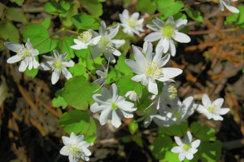 Picture of Hepatica acutiloba  Sharp-lobed Hepatica