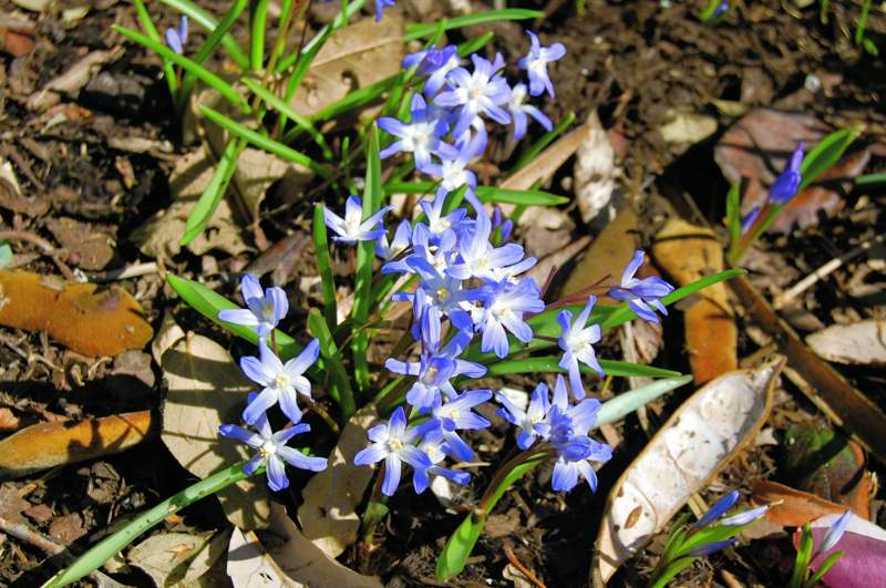 Picture of Chionodoxa luciliae  Glory-of-the-Snow