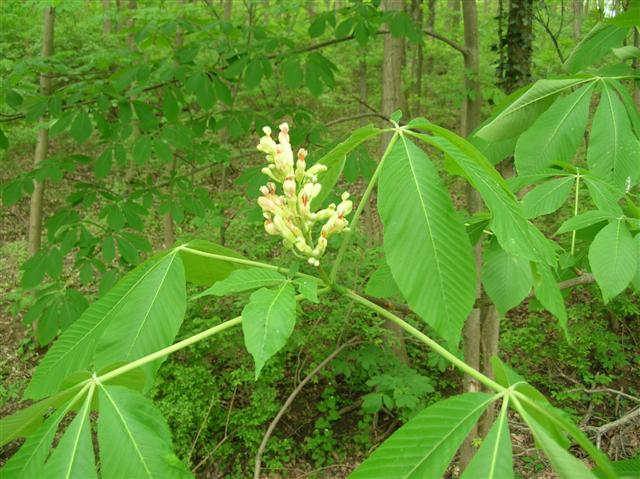 Picture of Aesculus flava  Yellow Buckeye