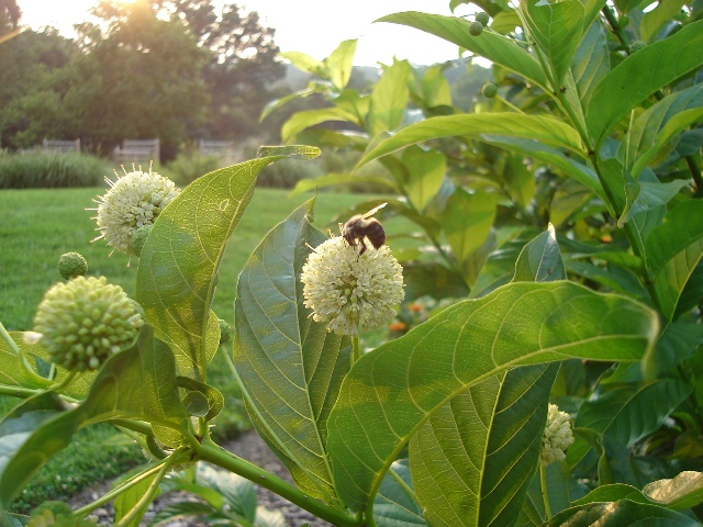 Picture of Cephalanthus occidentalis  Buttonbush