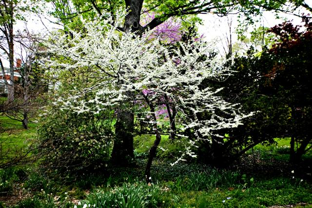Picture of Cercis canadensis f. alba  White Redbud