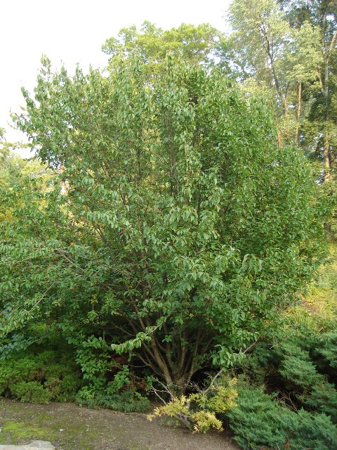 Picture of Cornus mas 'Golden Glory' Golden Glory Cornelian Cherry