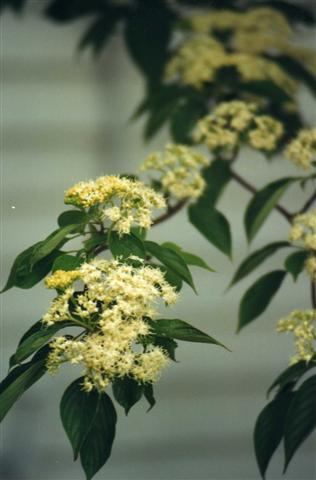 Picture of Cornus alternifolia  Pagoda Dogwood