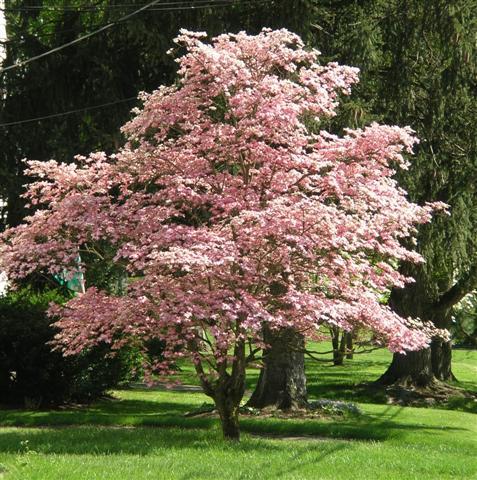 Cornus florida 39 rubra 39 pink flowering dogwood on for Pink small tree