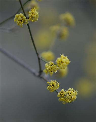 Picture of Cornus mas  Cornelian cherry dogwood