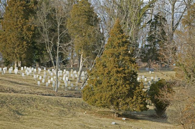 Picture of Juniperus virginiana  Eastern redcedar